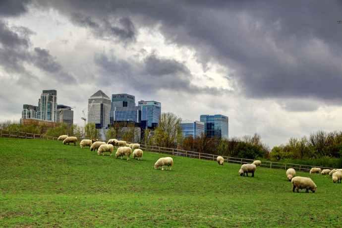 pecore tosa erba roma