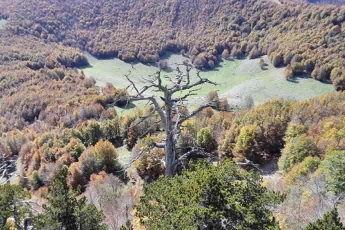 pino-loricato