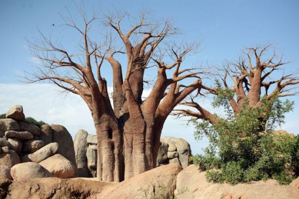 baobab morte2