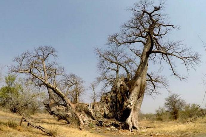 baobab d'Africa morti