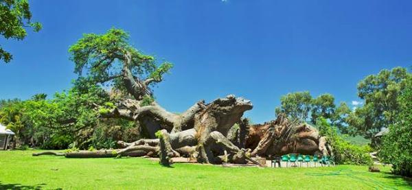 baobabmorti2