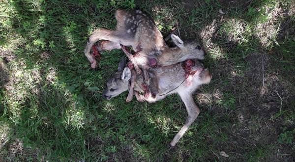 caprioli uccisi1