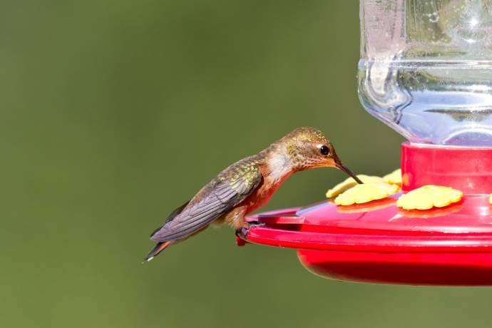 colibri-cover