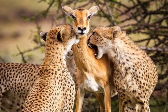 foto-impala-ghepardo