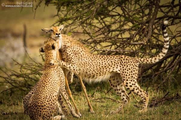 foto impala ghepardo1