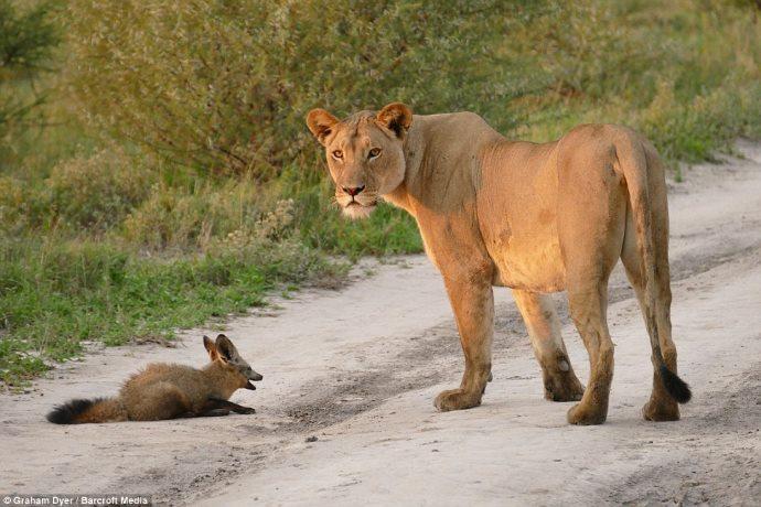 volpe leonessa