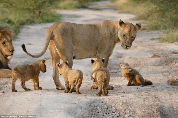 leone volpe2