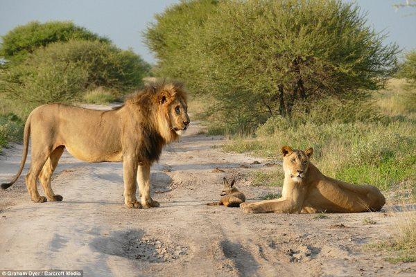 leone volpe3