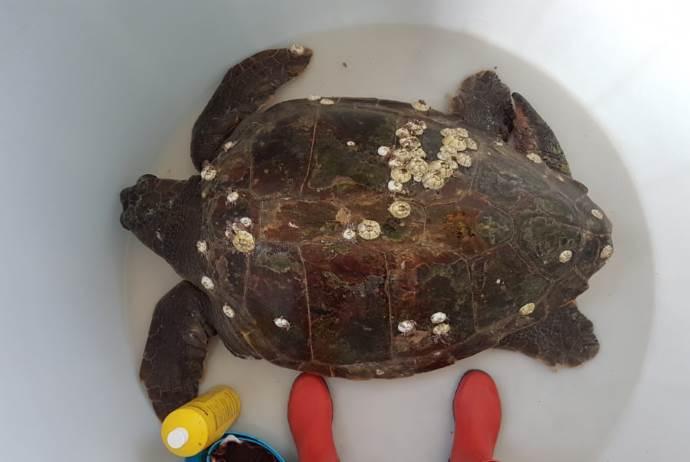 nazzareno-tartaruga