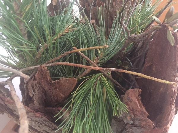 aghi di pino cembro