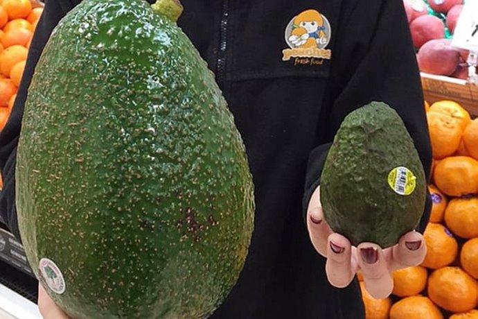 Avozilla avocado gigante
