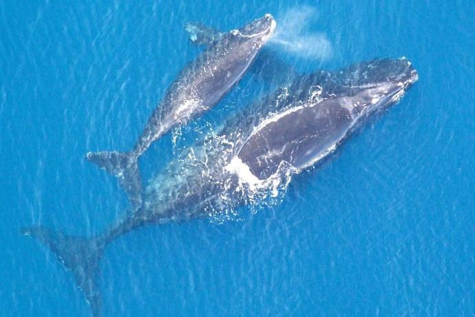 balene romani
