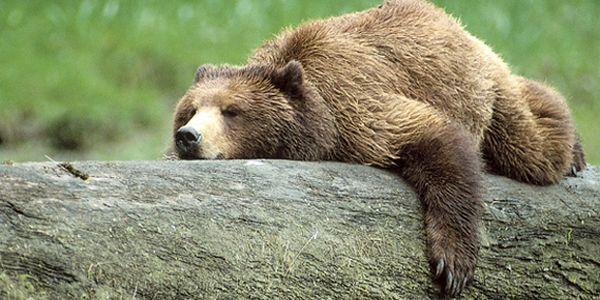 Risultati immagini per Orso grizzly site:greenme.it