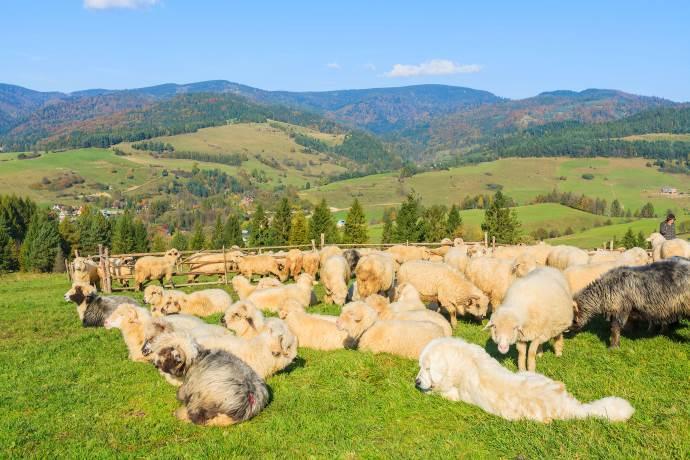 pastore-pecore
