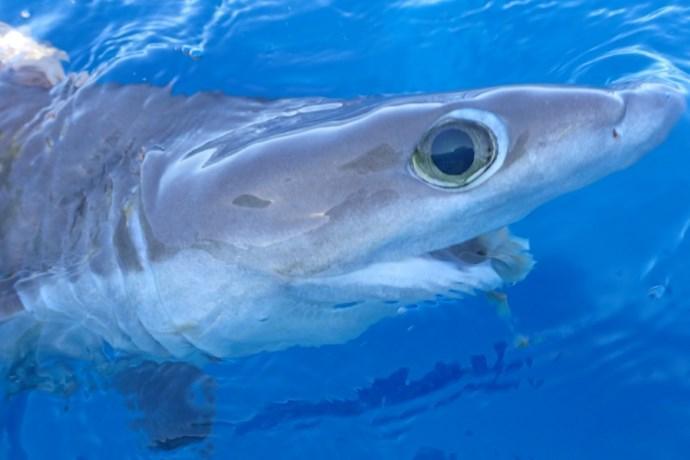 nuovo squalo alieno et