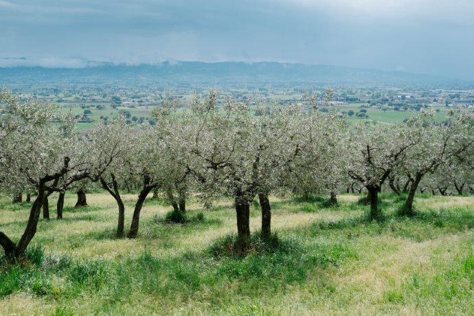 Olivi Umbria