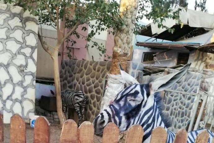 zebra-finta
