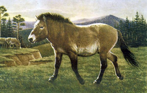 cavallo siberiano7
