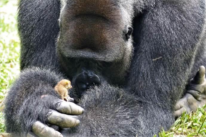 gorilla-con-galago