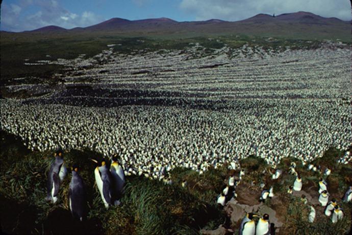 pinguini-reali
