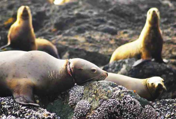 anelli foche