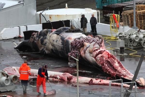 balene uccise 1
