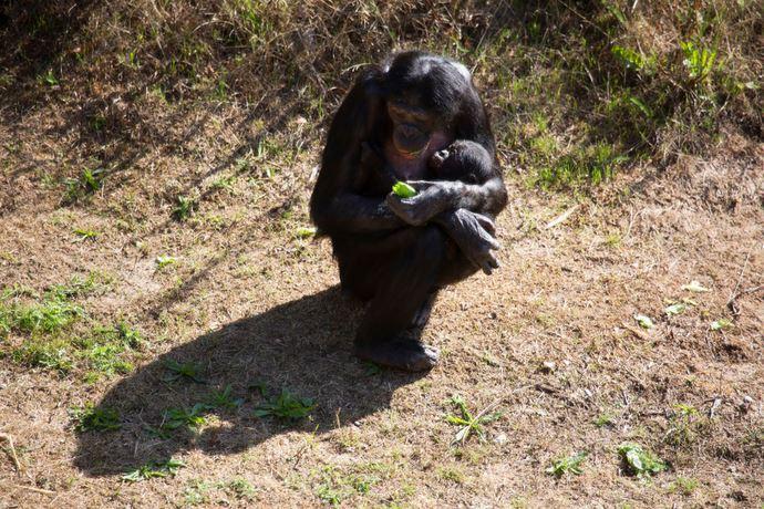 bonobo generosita condivisione cibo