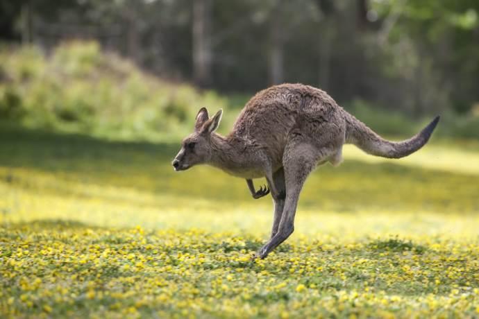 canguro-austria