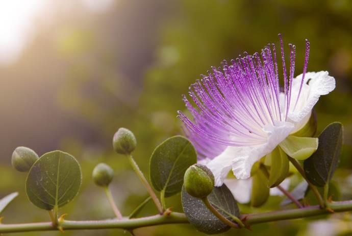 fiore-cappero-cover