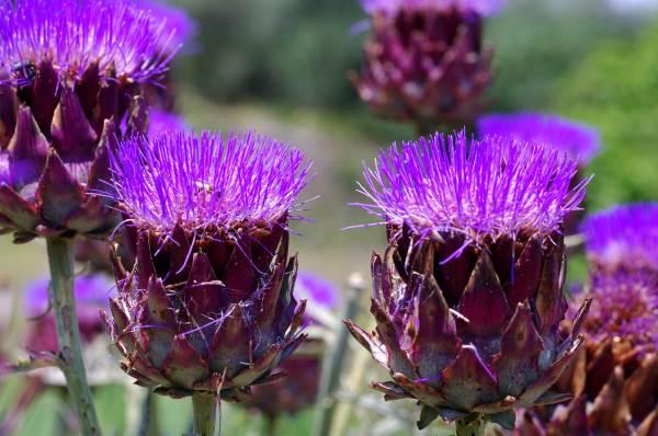 fiore carciofo1