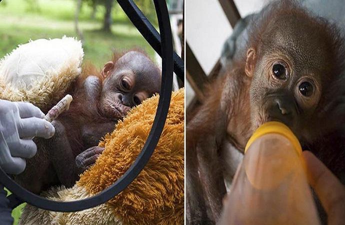 cucciolo orango olio di palma deforestazione