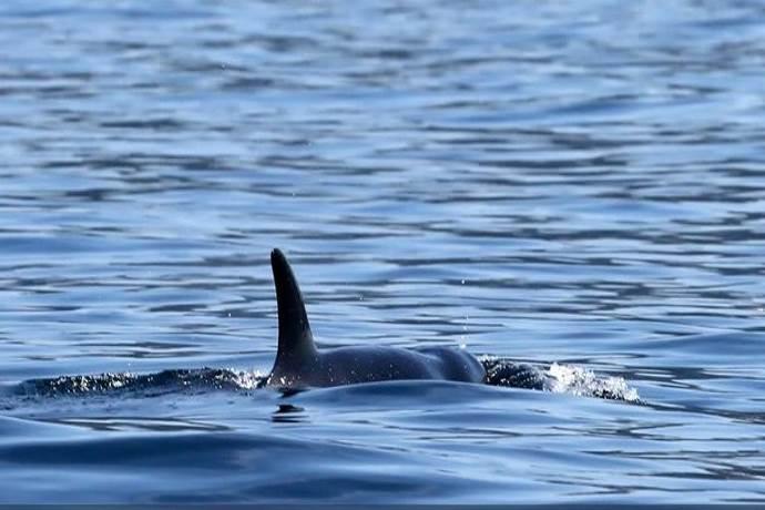 orca-scarlet