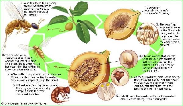 vespa fichi grafico