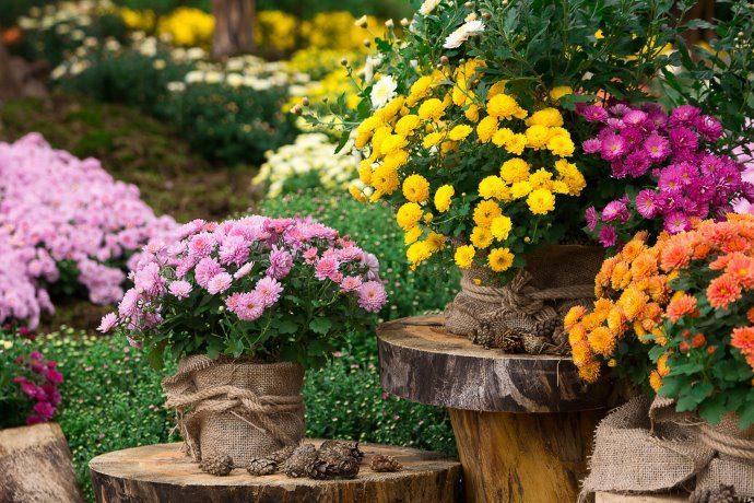 coltivare-crisantemi