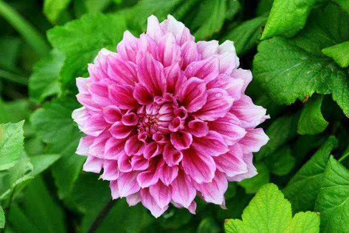 crisantemo fioritura