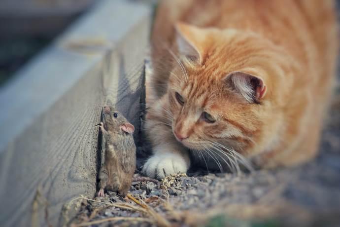 gatti cacciano topi