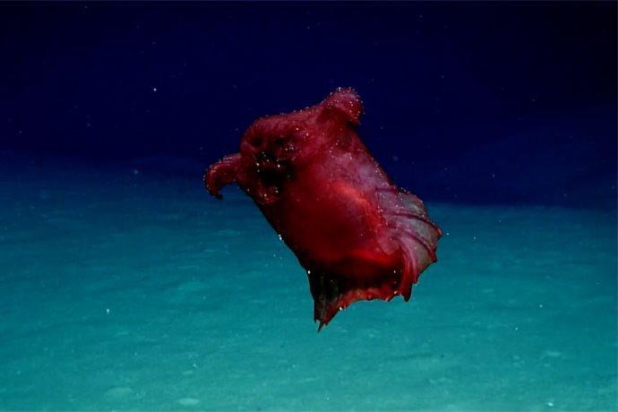 cetriolo di mare antartico