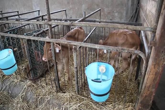 box-singoli vitelli
