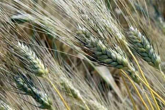 grano duro biologico decreto rotazione triennale