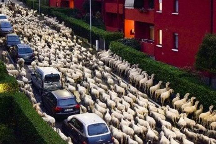 pecore Lecco