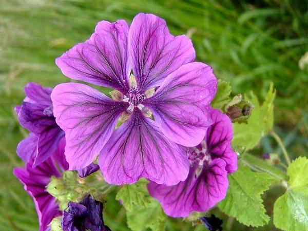 malva fiori