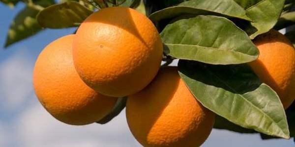 Risultati immagini per arance site:greenme.it