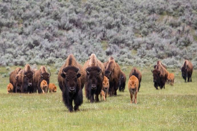 bisonti-nativi