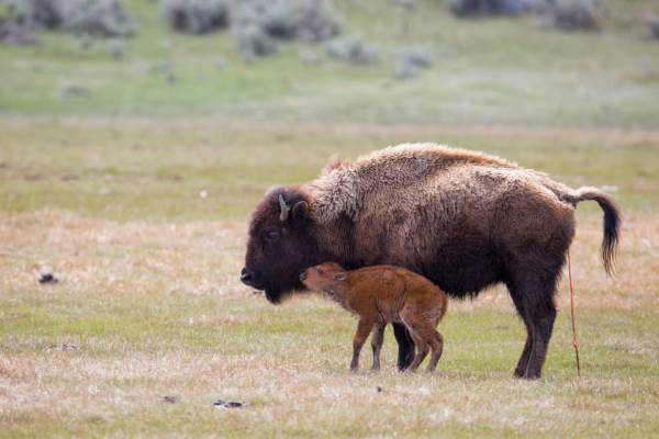 bisonti nativi2