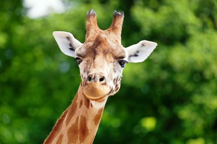 Giraffa estinzione