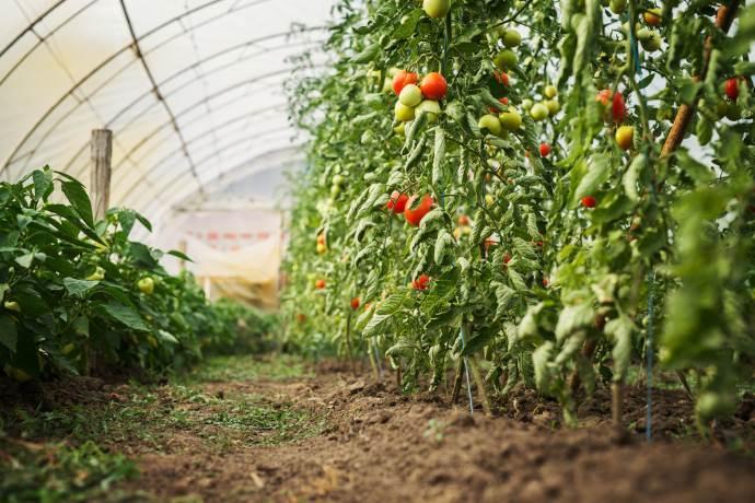 pomodori-coltivazioni