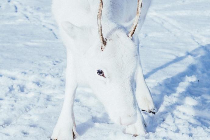renna bianca