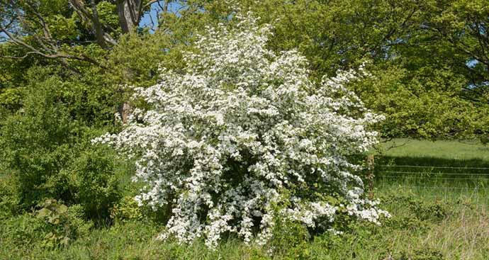 biancospino arbusto