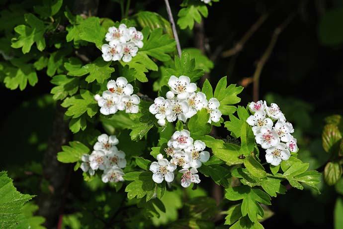 fiori biancospino