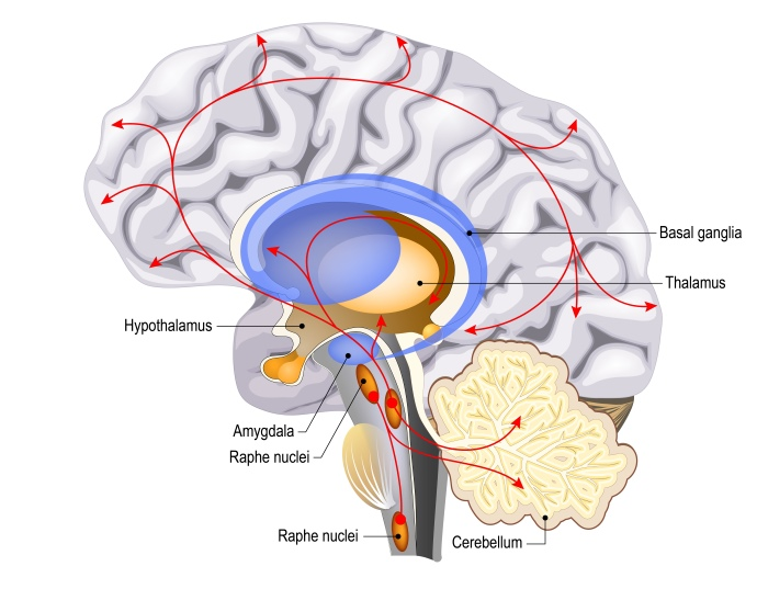 cervello serotonina